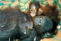 Orangután con madre muerta