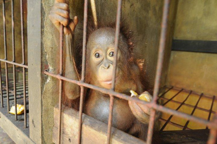 Los orangutanes de Borneo, las grandes víctimas del aceite de palma