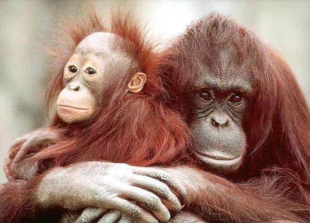 La elevada demanda de aceite de palma está acabando con el hábitat de los orangutanes de Borneo y Sumatra