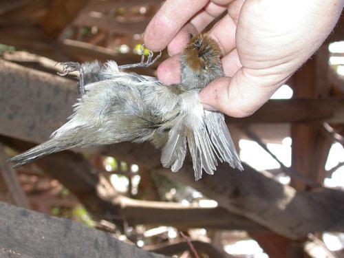 El parany mata a muchas aves de forma indiscriminada